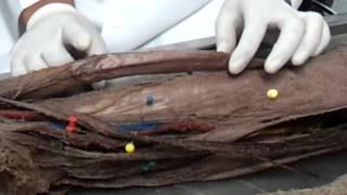Do músculo coxa anatomia da
