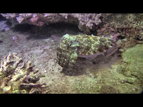 Cuttlefish Snacking On A Yellow Spotted Scorpionfish