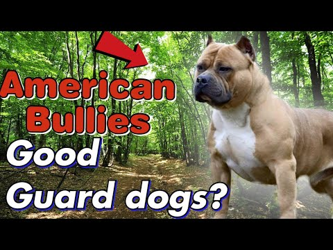 are-american-bully's-good-guard-dogs?-or-just-show-dogs?