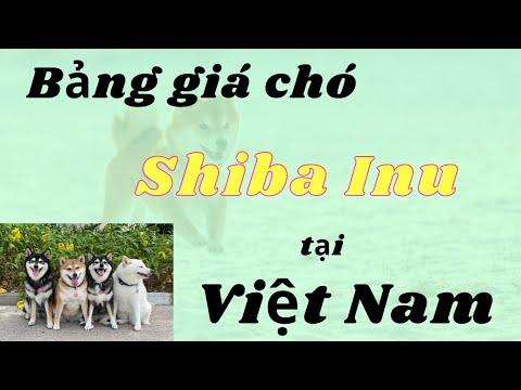 Bảng giá chó Shiba Inu tại Việt Nam