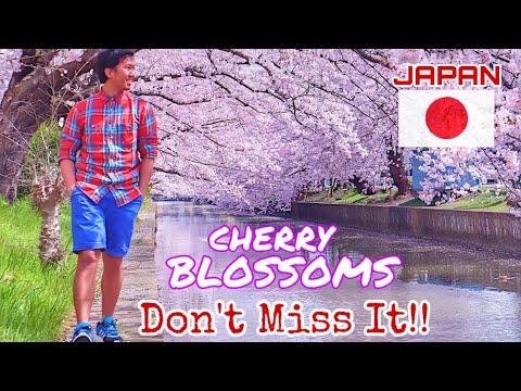 Cherry Blossoms In Japan | 桜 - Sakura Experienced |  Spring Season