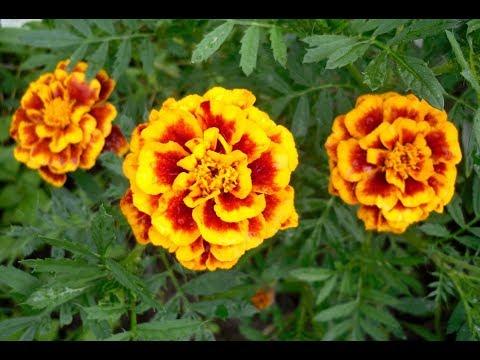 Вопрос: Какие есть цветы, похожие на бархатцы?