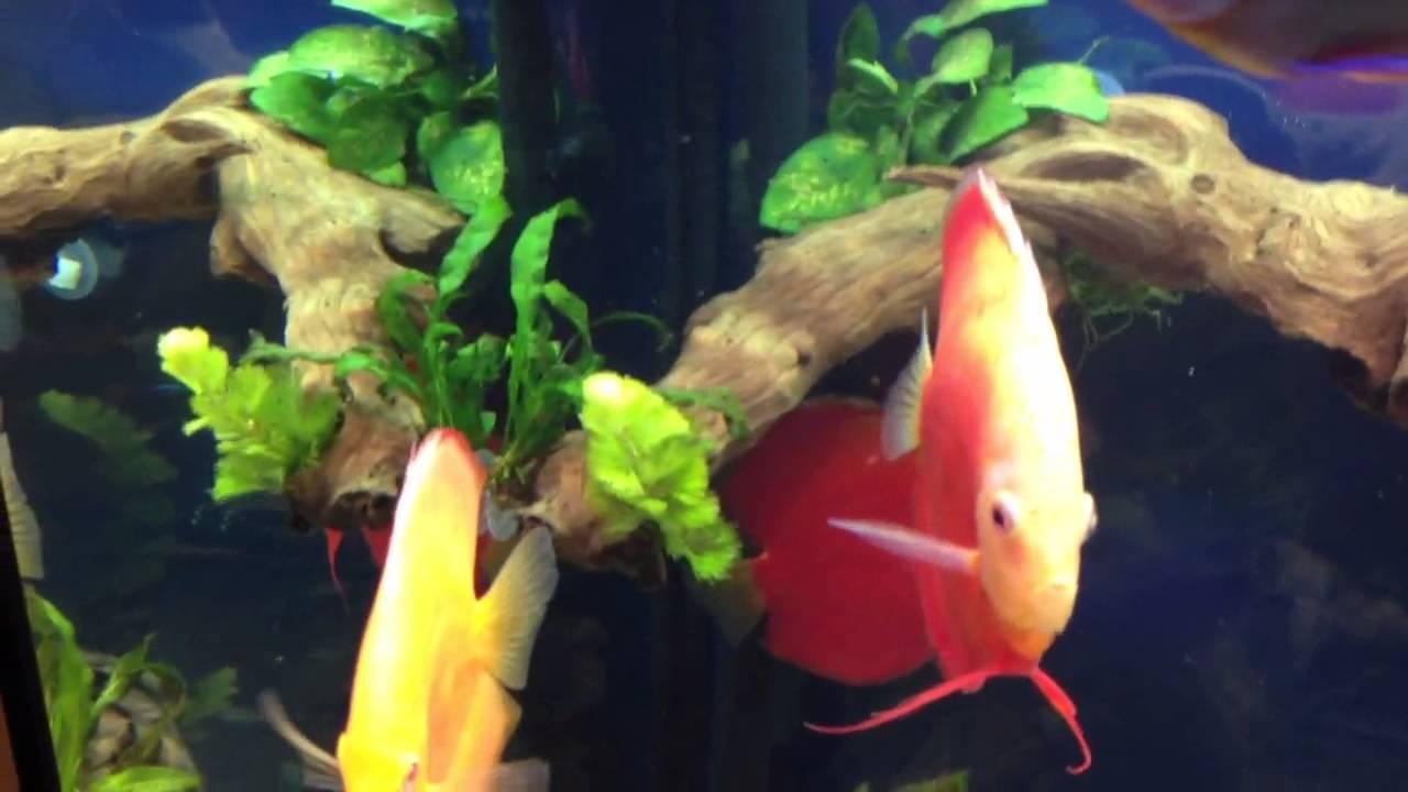 Discus fish mopani wood aquarium 350 liters tank youtube for Aquarium 350 litres
