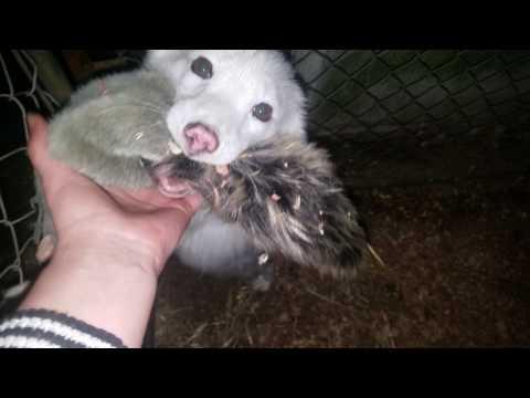 Koda, the arctic fox, happy in his space