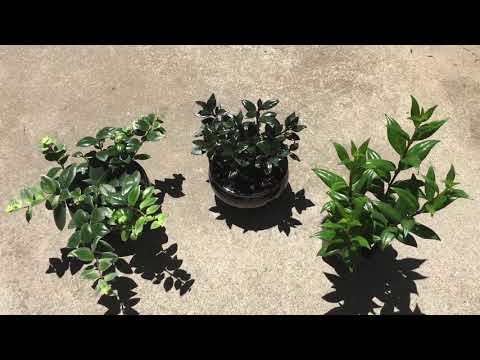 My RARE Lipstick Plants And Black Goldfish Plant! 😍😍😍