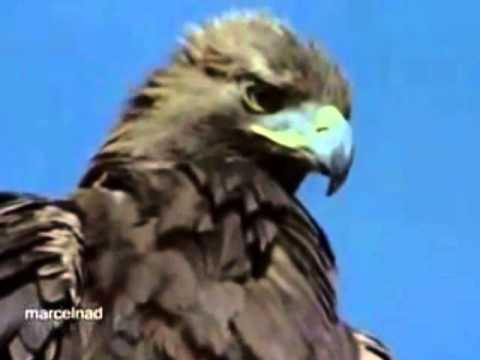 أخطر نسر في العـالـم الــنسر الــذهــبــي بحـجـم طــائــرة صغيره The Dangerous Golden Eagle Youtube