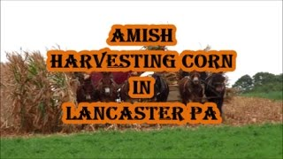 An Amish Corn Harvester in Action - LANCASTER COUNTY PA