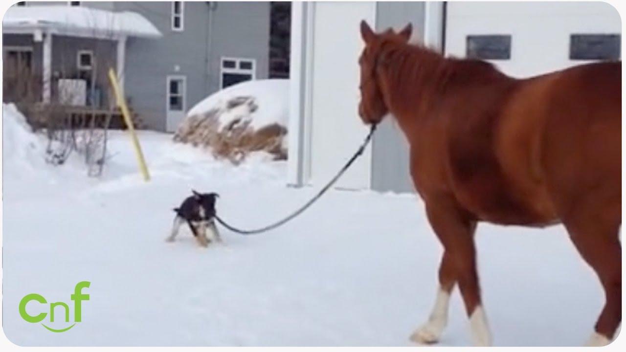 Dog Walks His Horse   This Puppy Reins
