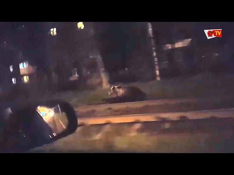 В Ярославле медведь напал на прохожего