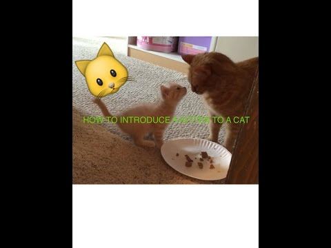 How to introduce a new kitten to a resident cat