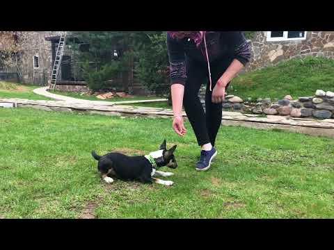 Дрессировка щенка минибуля! Супер умная собачка!