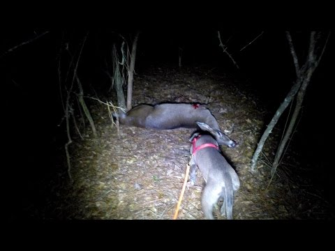 Deer Tracking With A Lacy Game Dog