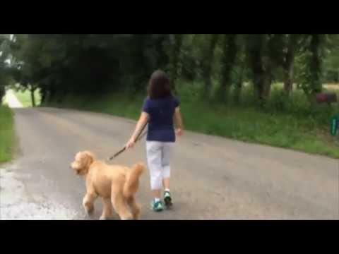 Golden Doodle 'Barley' Before and After Dog Training!