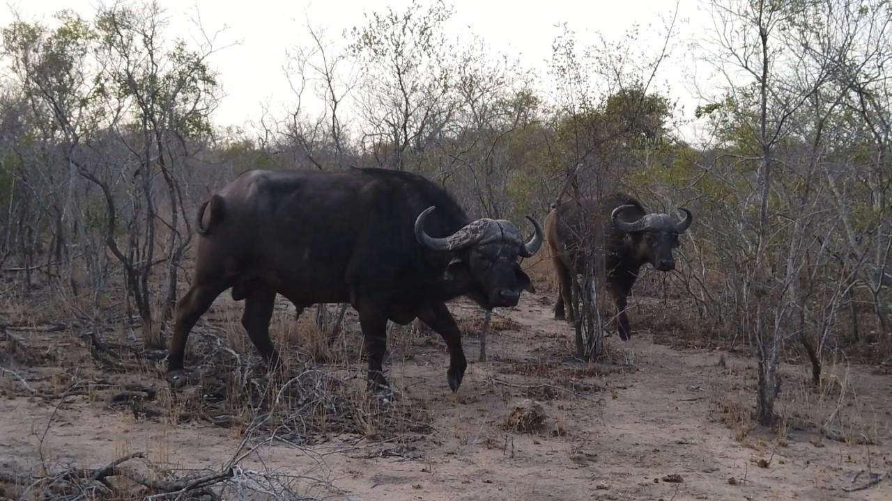 Lions, Buffalo and More; South Africa Safari Highlights