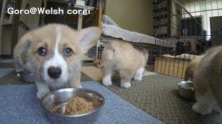 Cute corgi puppies 20130713 playlist http://www.youtube.com/playlis...