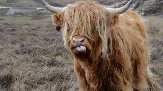 """Highland Cattle   """"The Highland cattle are a rustic breed of the domesticated cattle species."""""""