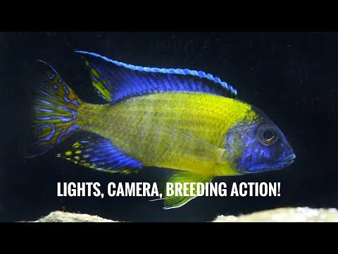 BREEDING CICHLIDS, CAUGHT AGAIN! | My Second Generation Of Blue Neon (aulonocara Stuartgranti)