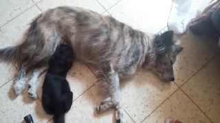 Dog Breastfeeding Cat / WTF (Must see)