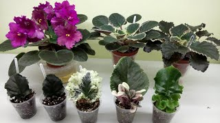 ФИАЛКА с листа и до цветения. Секреты выращивания!