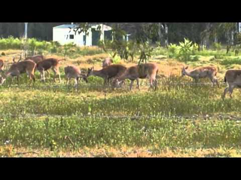 Rusa Stag with herd