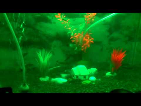 Moli fish and baby Moli swimmi g in tank