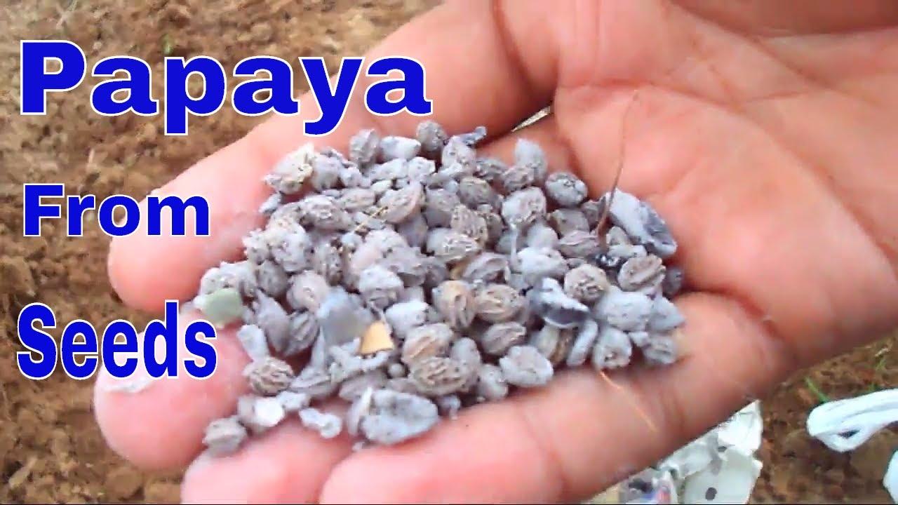 पपीता को बीज से कैसे उगाये /How to Grow Papaya From Seeds -16 Aug  2017/Mammal Bonsai