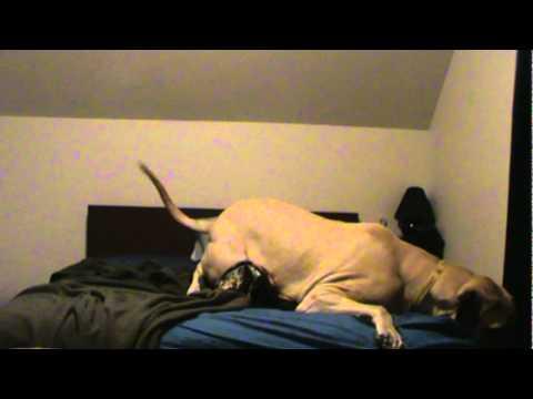 Waking Up an English Mastiff...