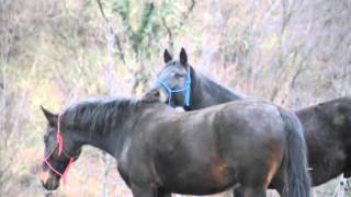 Repeat youtube video Horses Mating Up Close And Hard For A Long Time   Funny Animals Compilation Animal Videos 2015