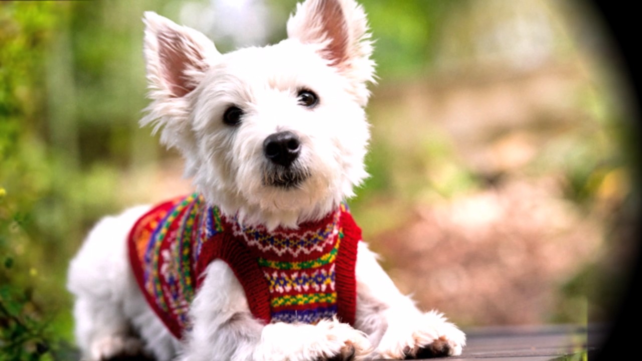 West Highland White Terrier - dog breed from the advertisement Caesar