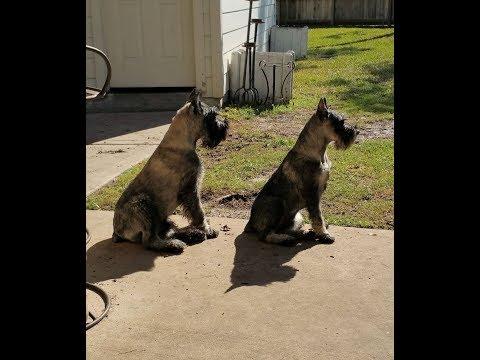 Kung Fu Puppies - Steadfast Standard Schnauzer's Flag Day Litter at play