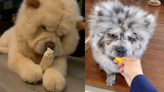 ADORABLE CHOW CHOW BIG APPETITES SUPER CUTE MOMENTS 2020