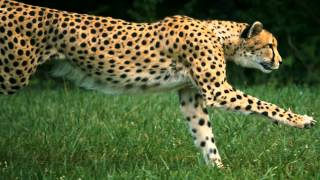 Running Cheetah on High Speed HD Camera