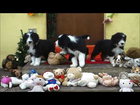 BEARDED COLLIE GREMONTREE - Jodie's litter 11 Let's go out