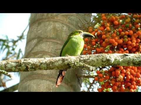 Tucancito Verde - Palma