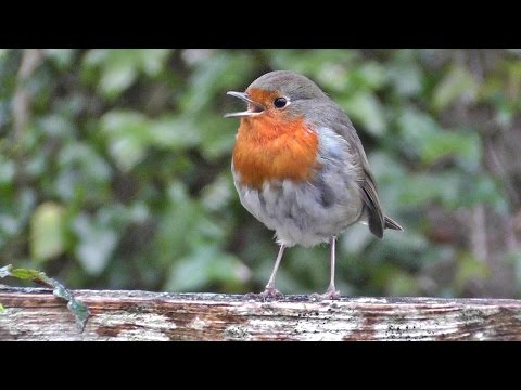 Robin Bird Chirping and Singing - Song of Robin Red Breast Birds - Robins
