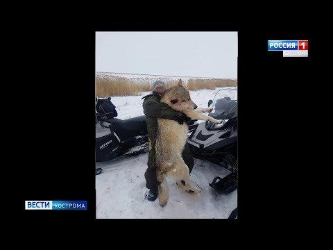 В Костромской области застрелили гигантских волков