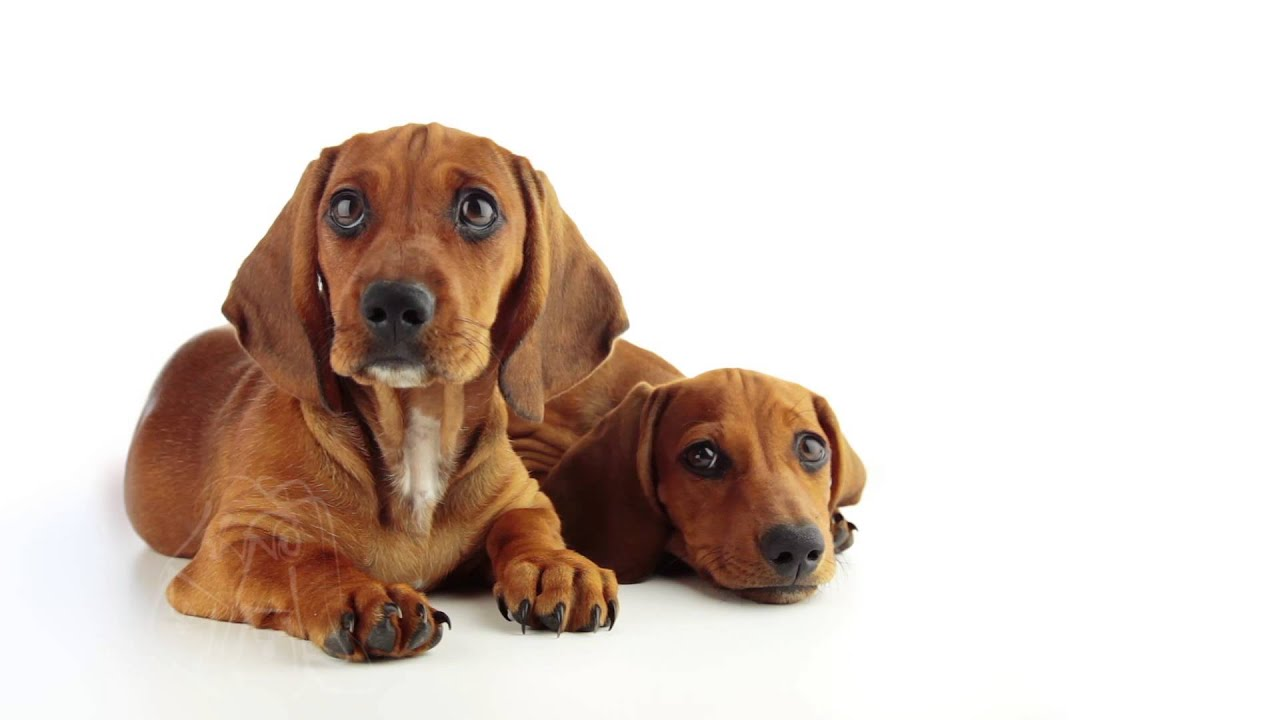 Two Dachshund Puppy On A White Background