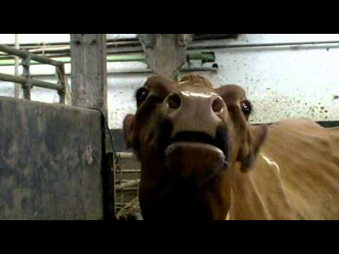 singing cow Travel Video