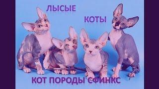 Лысые коты: кот породы сфинкс