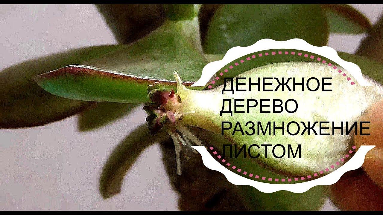 Как размножить денежное дерево. Размножение листом.
