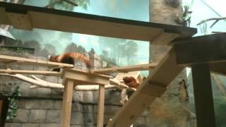 К красной панде в Московский зоопарк приехал жених