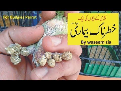 budgies ki khatarnak bimari | by waseem zia | budgies | parrot | budgies baby