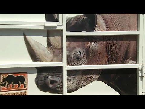 شاهد.. 30 ساعة سفر لحيوانات وحيد القرن من التشيك للتزاوج في روندا…  - نشر قبل 23 دقيقة
