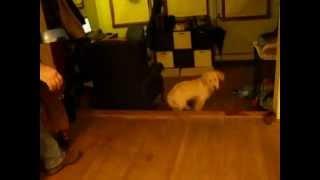 The Bo Dance - Bosox The Golden Retriever