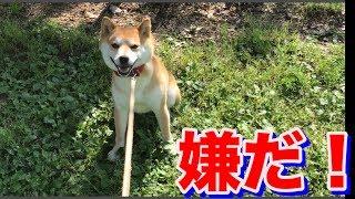 柴犬ハナ 帰りたくないアピールが可愛らしい -- Shiba doesn't go home!--
