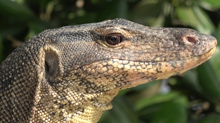 Quick Flips - Monitor Lizard