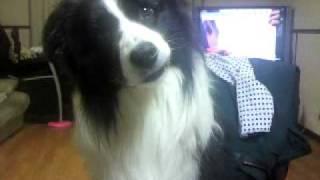 首を傾げる犬 色々な言葉に反応して首を傾げるボーダー・コリーです.