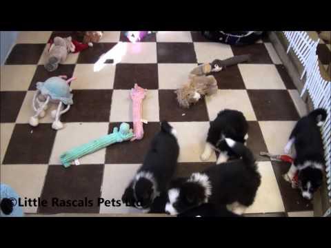 Little Rascals Uk breeders New litter of Husky x Samoyed Puppies