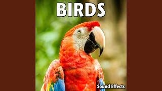 Scarlet Ibis Soft Calling