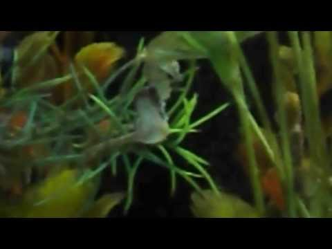 Dwarf seahorses courting